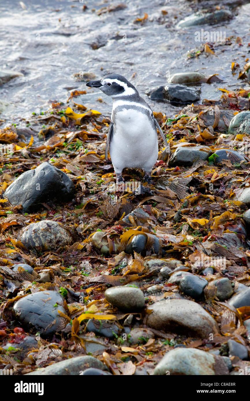 Pingüino de Magallanes en Chile Foto de stock