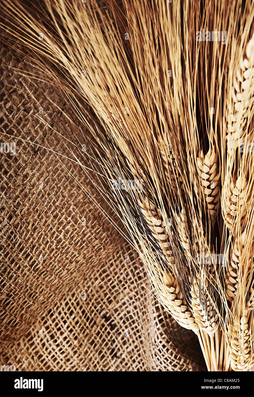 Borde de trigo sobre el fondo del lienzo, el tiempo de la cosecha, la fiesta de acción de gracias de decoración Imagen De Stock
