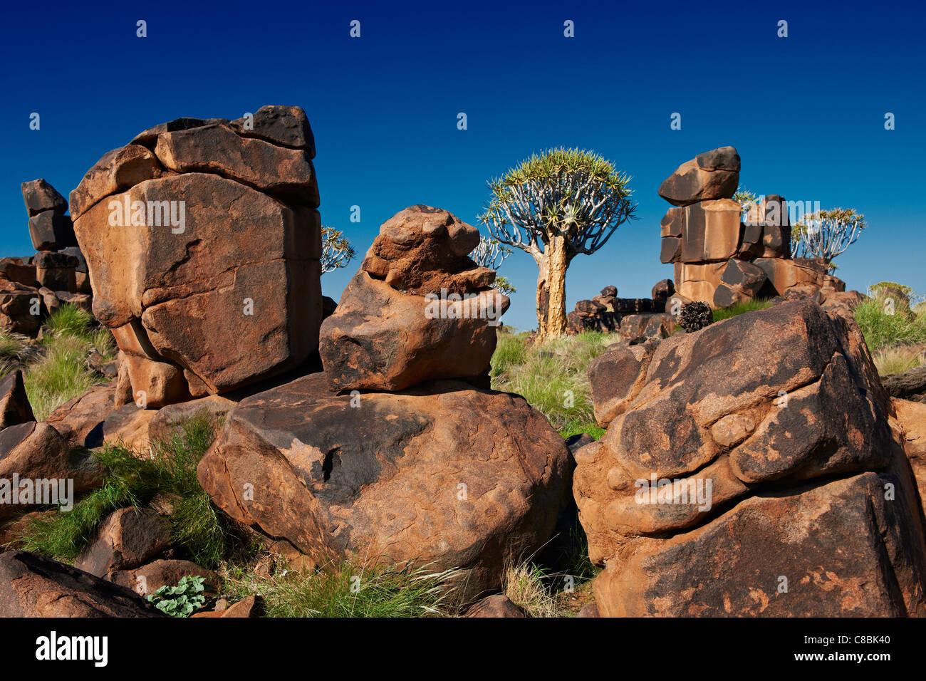 El carcaj de bosque de árboles, Aloe dichotoma, Granja Garas, sitio fósil Mesosaurus, Keetmanshoop, Namibia, Imagen De Stock