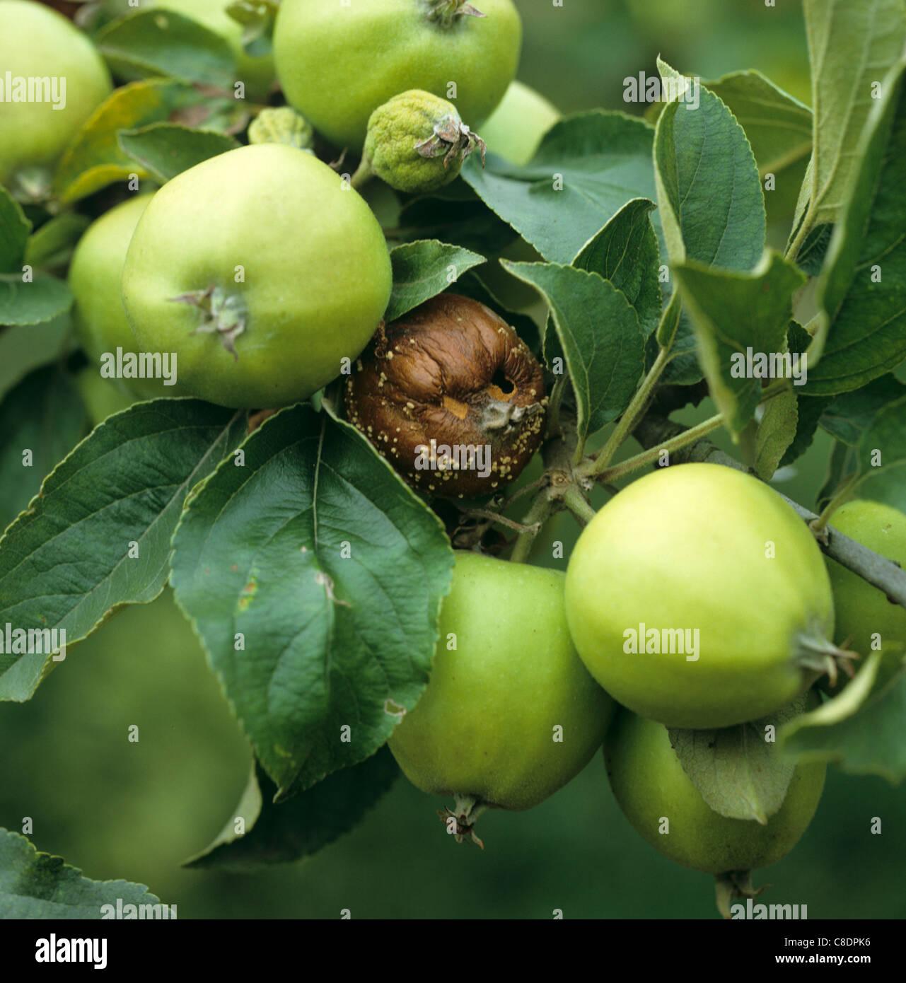 La podredumbre parda (Sclerotinia fructigena) enfermas de manzanas en el árbol. Imagen De Stock