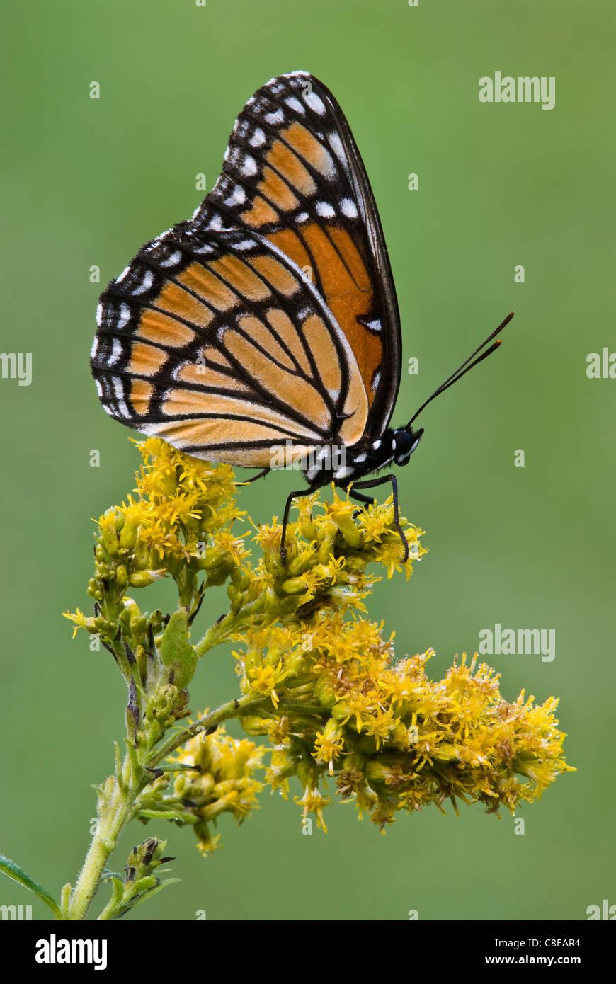 La mariposa virrey (Limenitis archippus) en Goldenrod Solidago (SPS), a finales de verano, principios de otoño, E EE.UU., por omitir Moody/Dembinsky Foto Assoc Foto de stock
