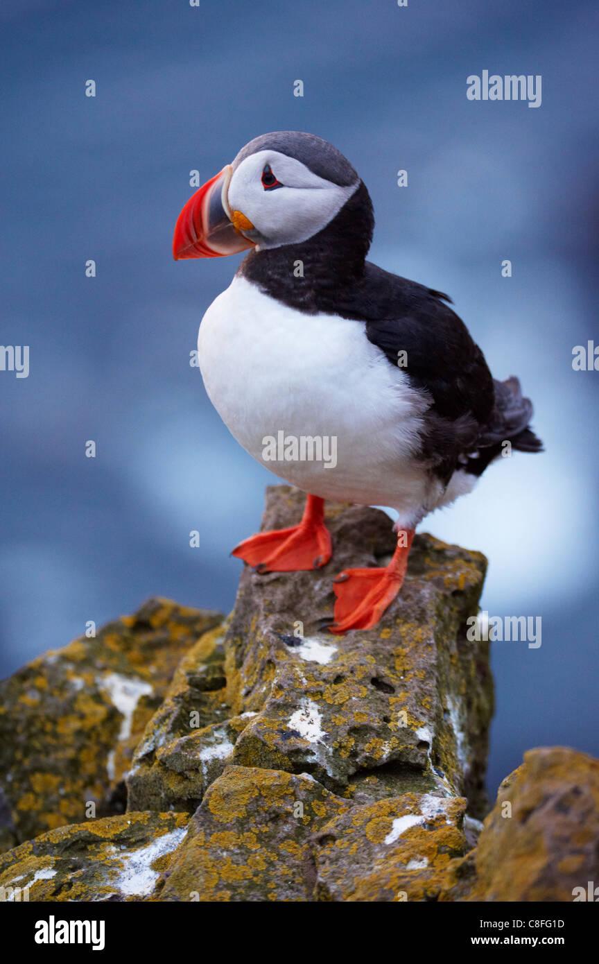 Frailecillo (Fratercula arctica) a Latrabjarg, colonia de aves más grande de Europa, los fiordos occidentales Imagen De Stock