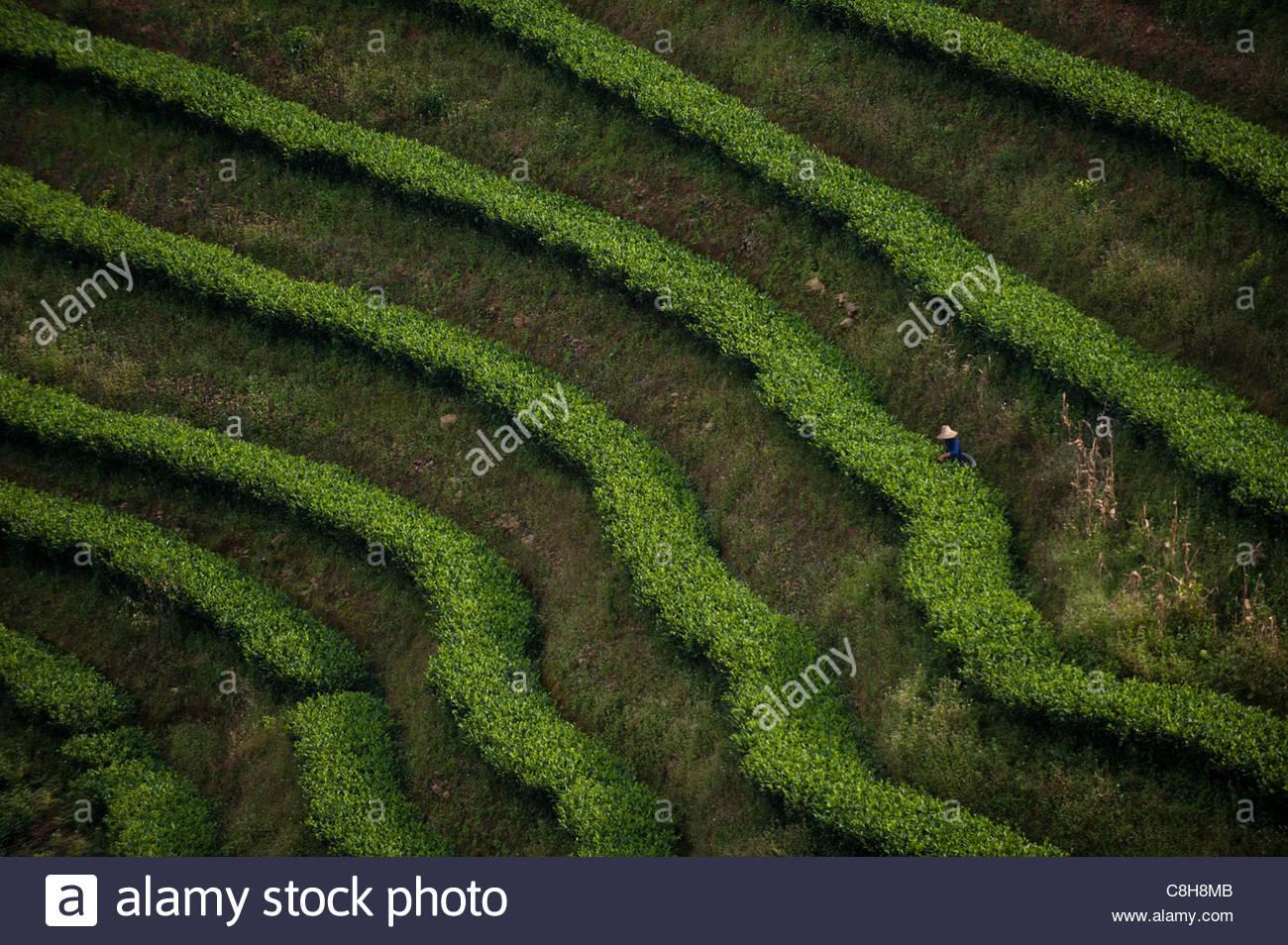 Filas de Puer tea arbustos forman un patrón stripey en la provincia de Yunnan Imagen De Stock