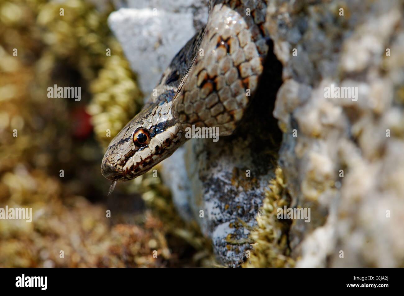 Suave, Coronella austriaca de serpiente, serpiente, serpientes, reptiles, reptiles, retrato, protegida, en peligro Imagen De Stock