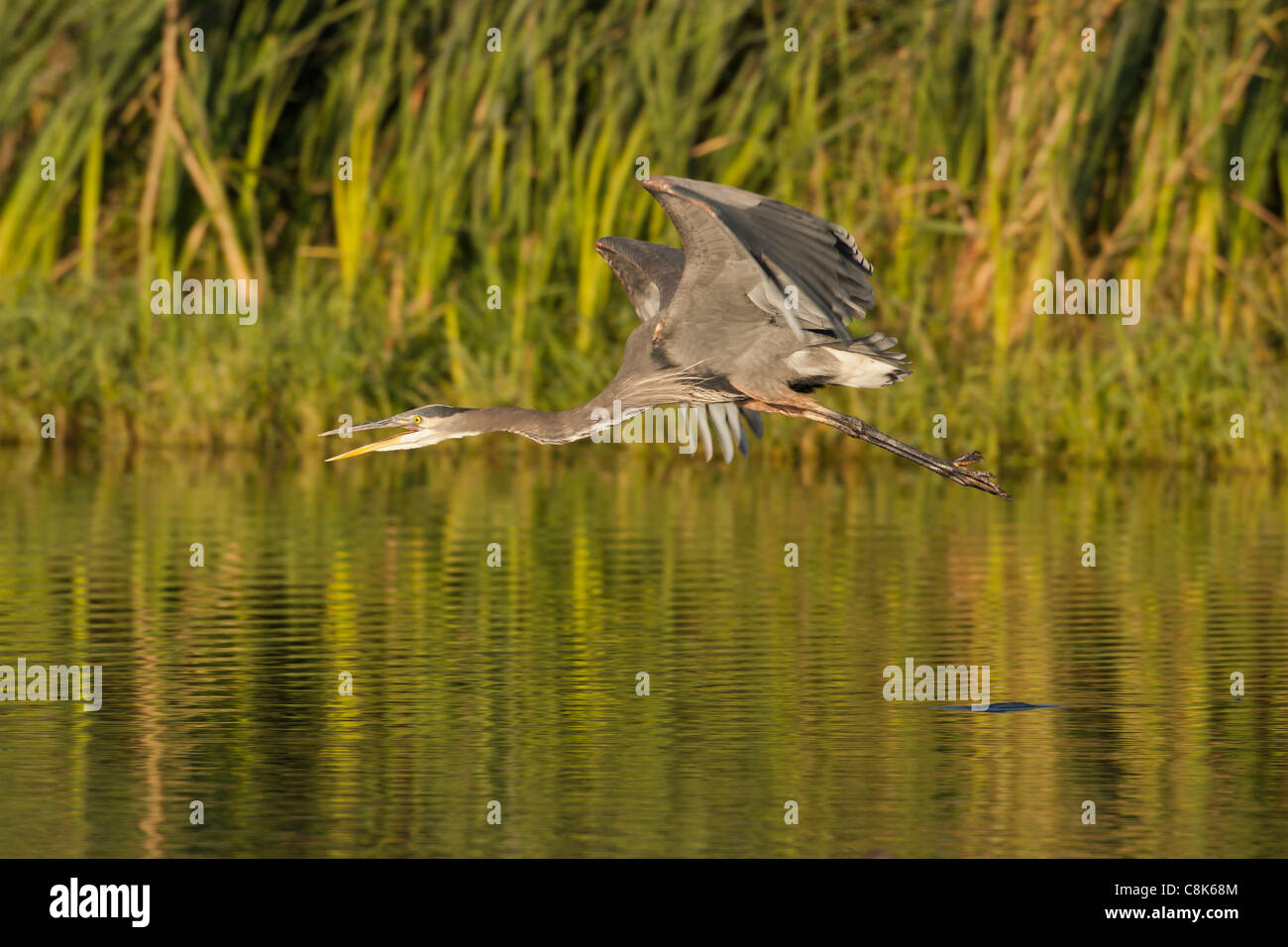 Great Blue Heron en vuelo sobre el lago Victoria, British Columbia, Canadá. Foto de stock