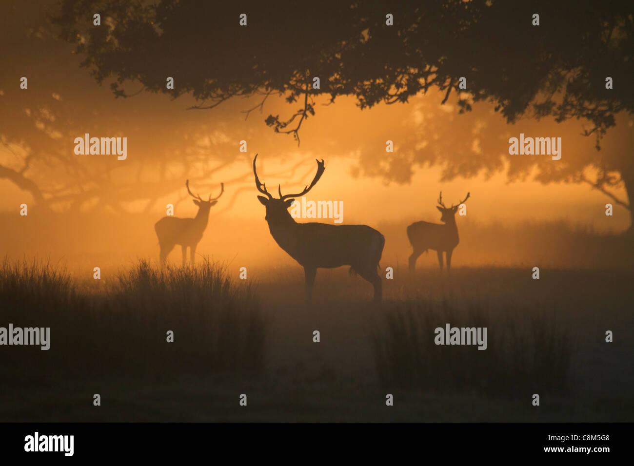 Tres gamos, ciervos dama dama en la niebla de la mañana temprana Imagen De Stock