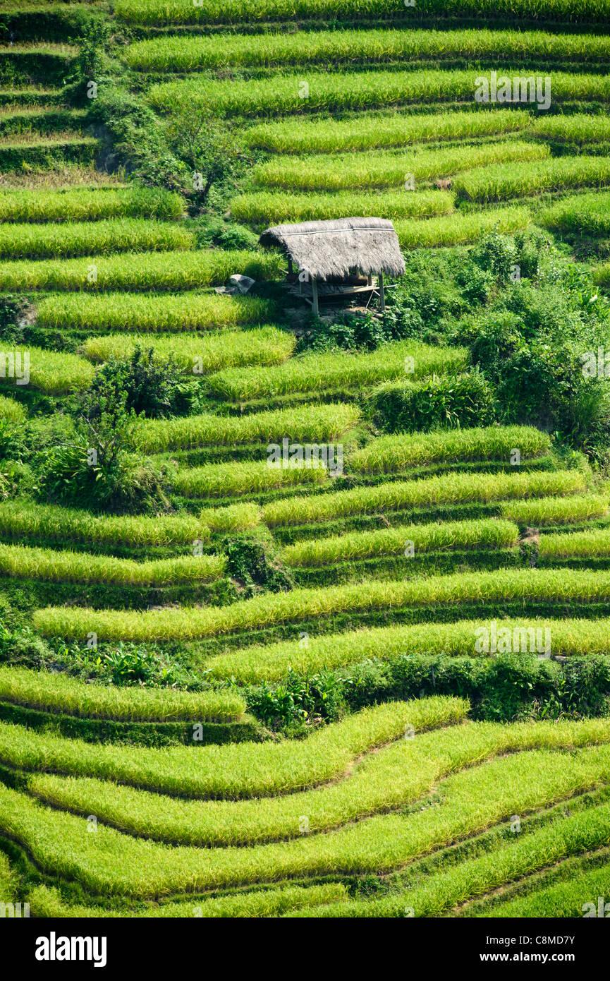 Terrazas De Cultivo De Arroz Antes De La Cosecha Vietnam