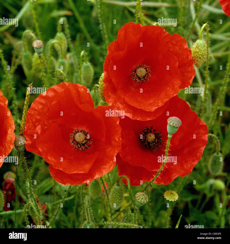 Maíz adormidera (Papaver rhoeas) flores Foto de stock