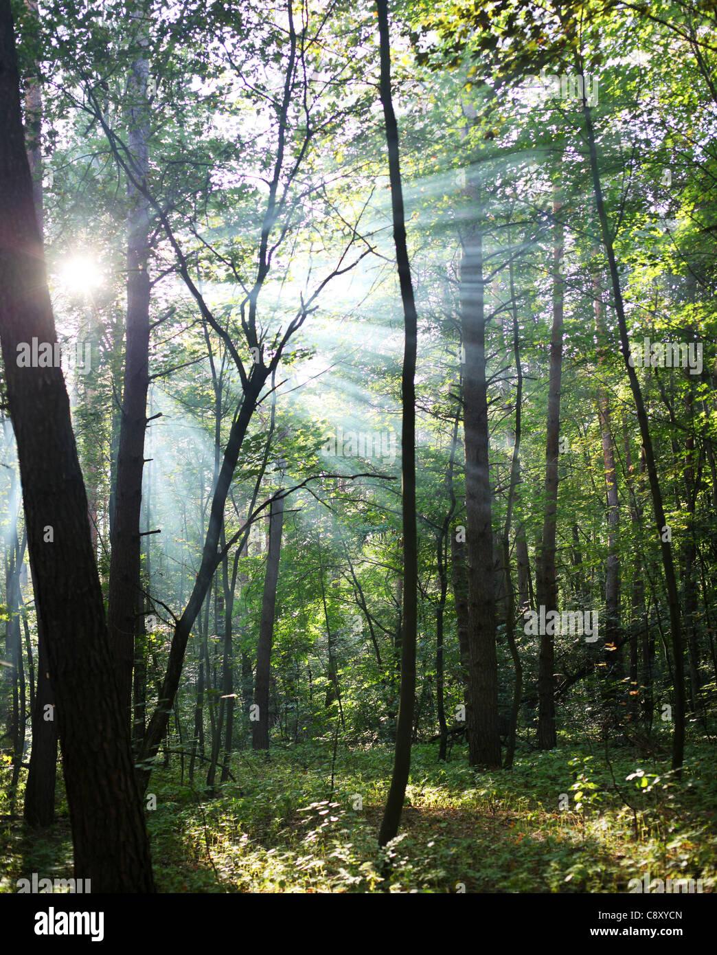 Los rayos del sol brillando a través de los árboles en el bosque. Imagen De Stock