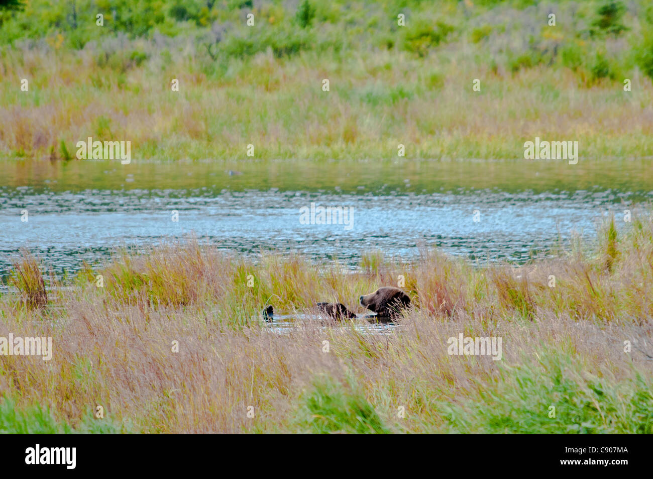Grizzly Bear, Ursus arctos horriblis, relajante sobre su espalda en el Brooks River, Parque Nacional Katmai, Alaska, Imagen De Stock