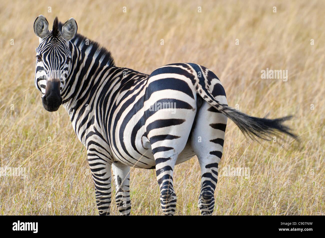 Vista trasera de Burchell, zebra Equus guagga burchellii, Reserva Nacional de Masai Mara, Kenya, Africa. Imagen De Stock