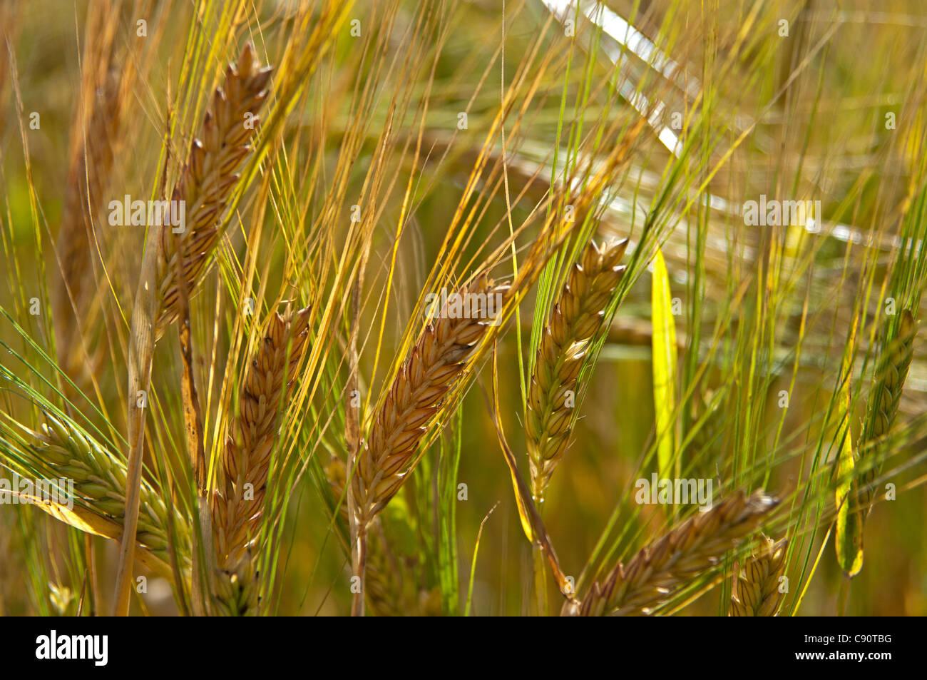 Campo de cebada cerca de Huntley, aberdeenshire, Escocia Imagen De Stock