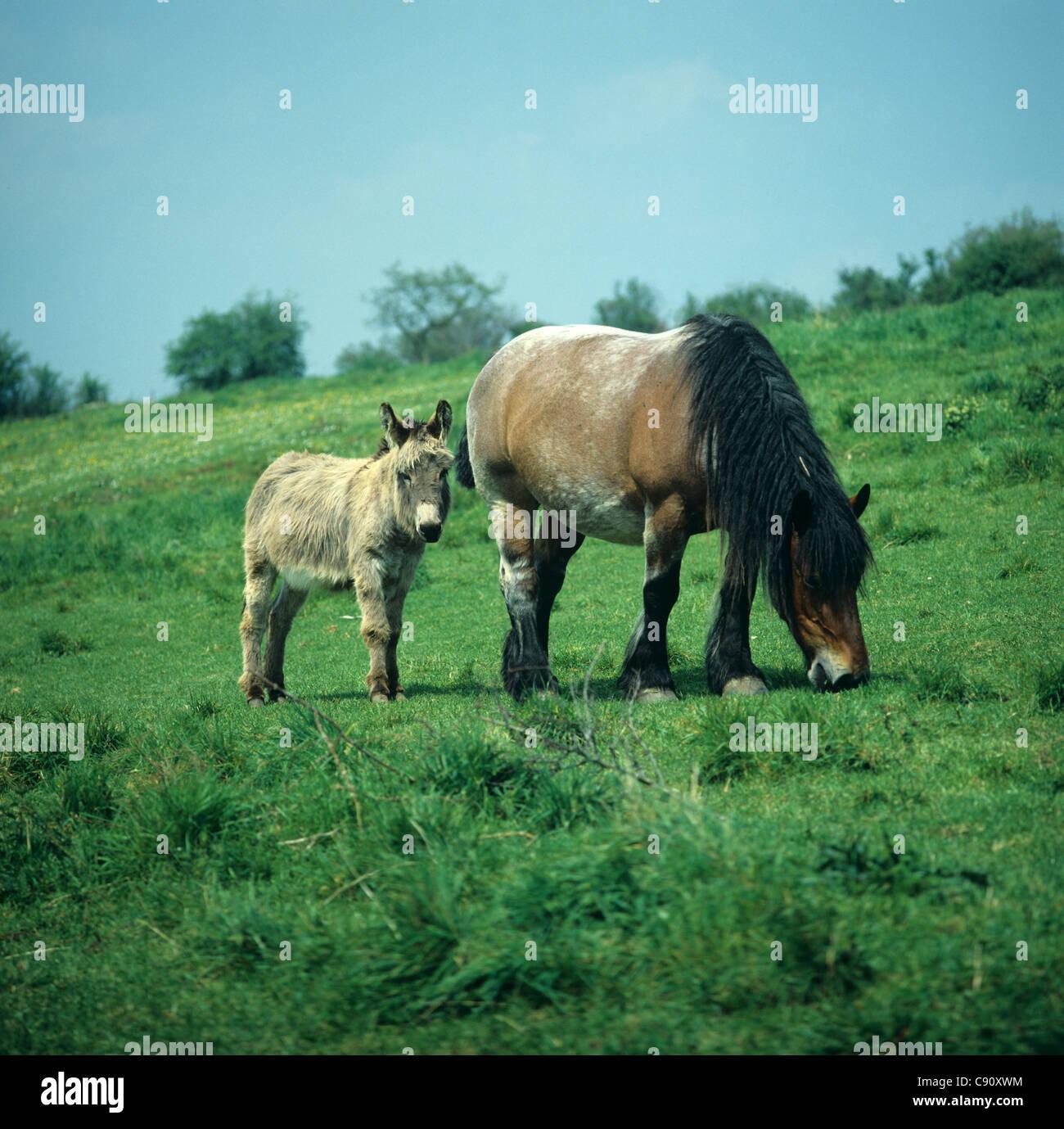 Un burro con su compañero carthorse en un campo Imagen De Stock