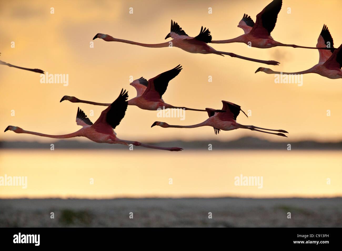 Los Países Bajos, Bonaire, isla del Caribe Holandés, Kralendijk, americano o Caribe Flamingo ( Phoenicopterus Imagen De Stock