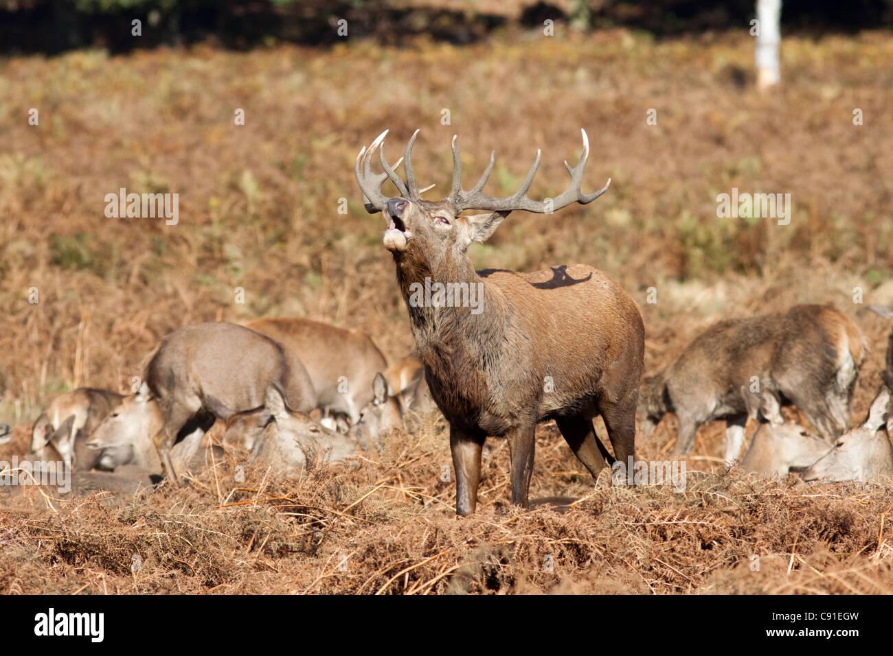 Ciervo ciervo bramido/mugidos durante el badén, elaphus Curvus, Richmond Park, otoño/fall, Surrey, Inglaterra, Reino Foto de stock