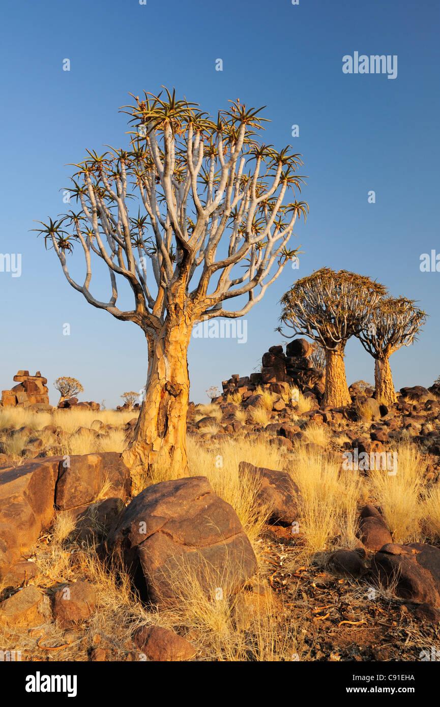 Árbol árbol carcaj carcaj en bosque, Aloe dichotoma carcaj Tree Forest, Keetmanshoop, Namibia Foto de stock