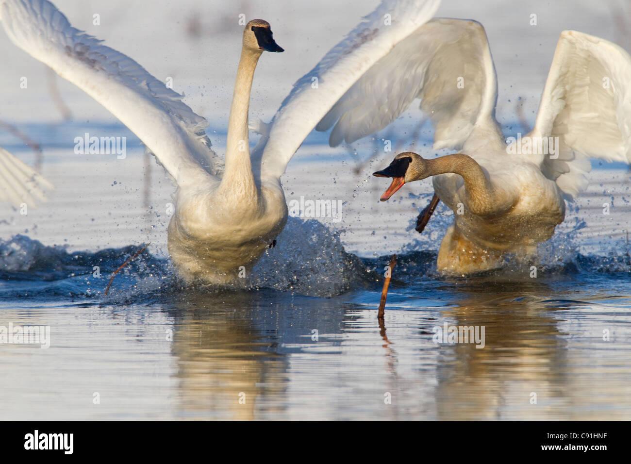Trumpeter cisnes persiguiendo unos a otros en una controversia territorial, Delta del Río Cobre, cerca de Córdoba, Imagen De Stock