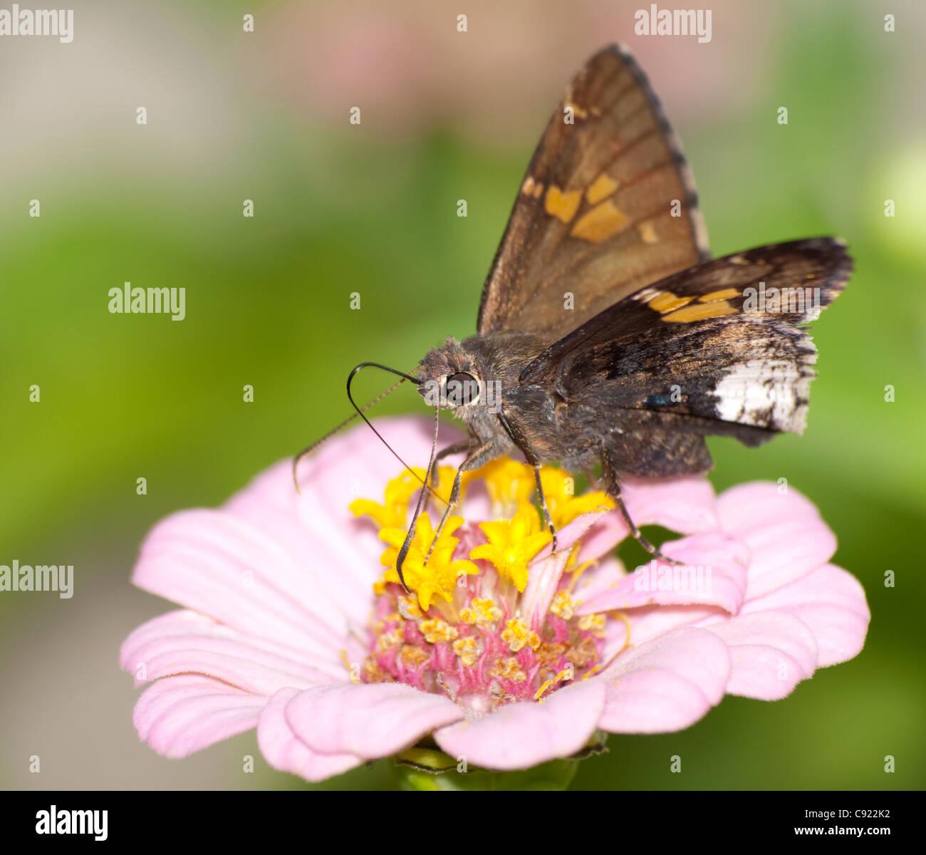 Borde canosos mariposa sobre pink Zinnia Foto de stock