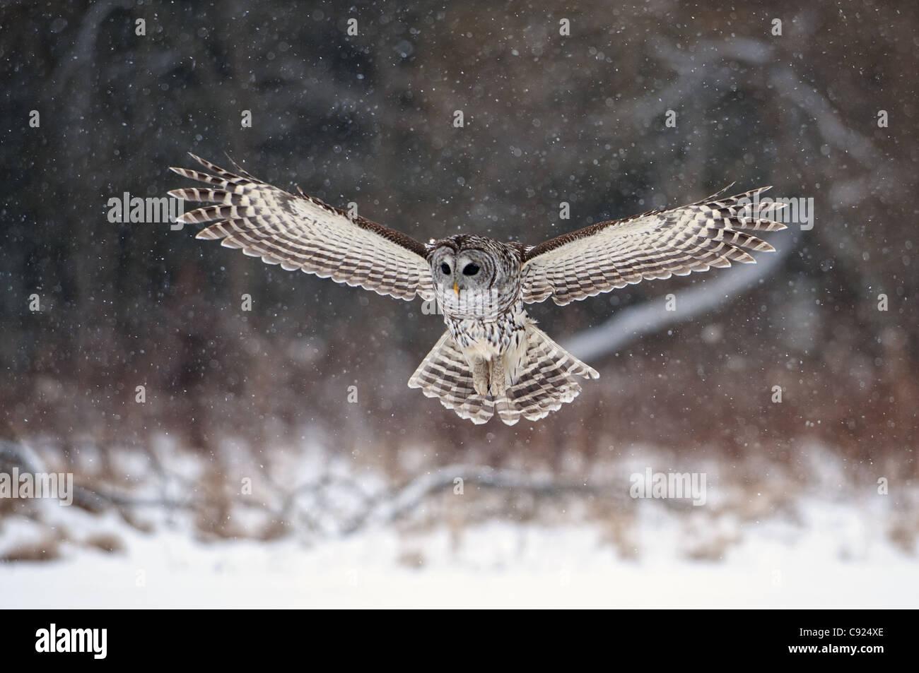Prohibieron la lechuza común se abalanza para aterrizar en la nieve, en Ontario, Canadá, el invierno Imagen De Stock