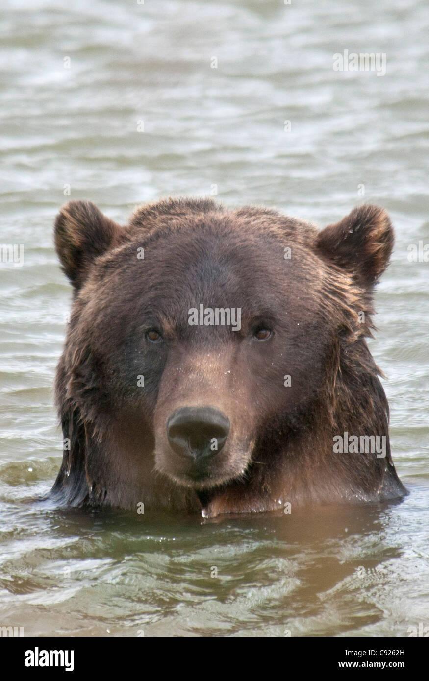 Cerca de un oso pardo en un estanque en el Centro de Conservación de la vida silvestre de Alaska, Southcentral Alaska, verano. Cautiva Foto de stock