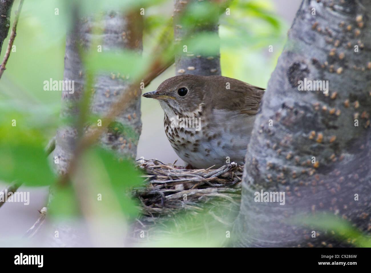 Gris-cheeked afta en nido en un árbol, en Long Island, Delta del Río Cobre,Southcentral Alaska, muelle Imagen De Stock