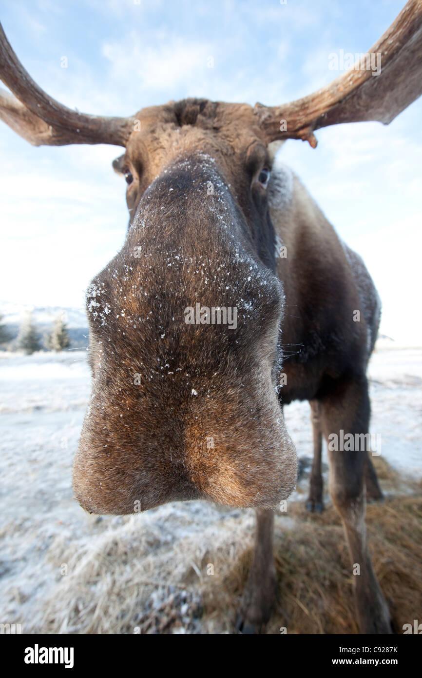 Cautivo: un primerísimo plano de un toro de alces en el Centro de Conservación de la vida silvestre de Imagen De Stock