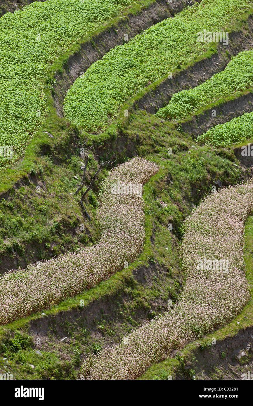 Cultivo de terrazas en la parte inferior de Mange Chhu Valle. Imagen De Stock