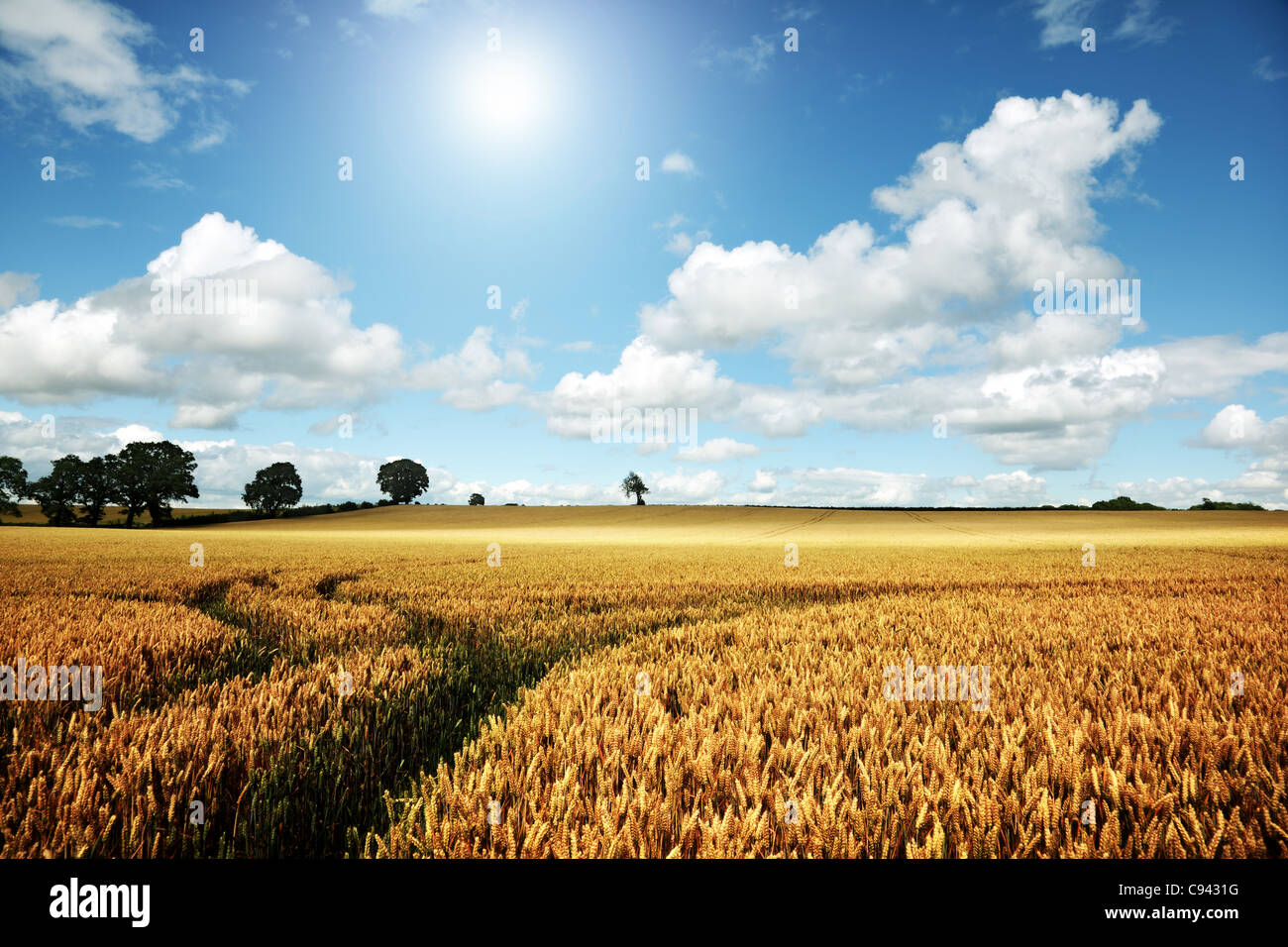 Campo de trigo maduro en un día de verano Imagen De Stock