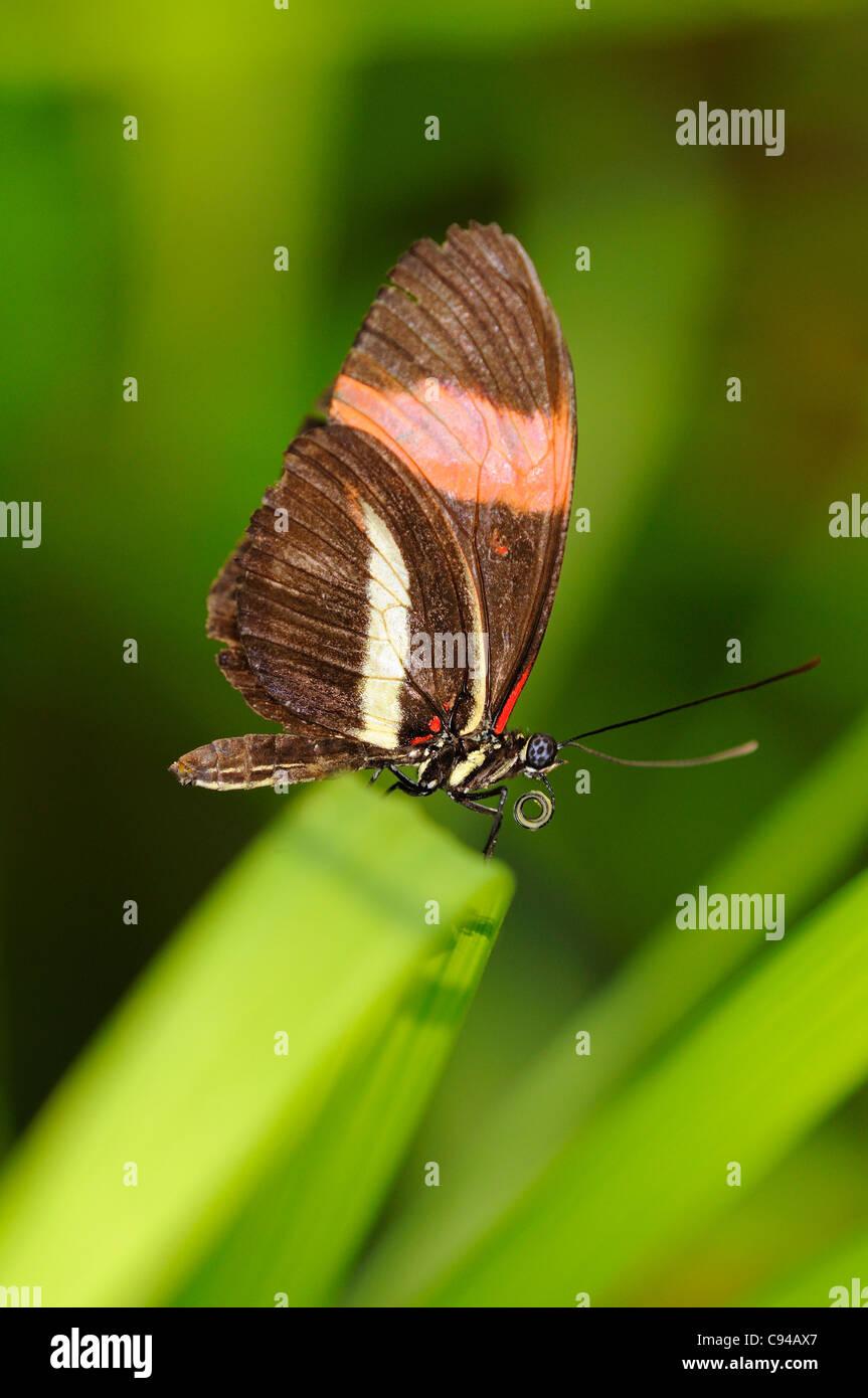 Cartero, mariposas tropicales Heliconius melpomene Foto de stock