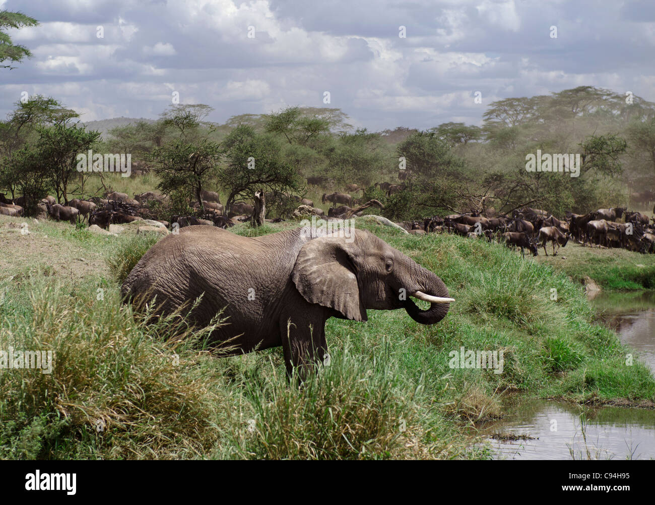 Beber de elefantes en el Parque nacional Serengeti, Tanzania, África Imagen De Stock