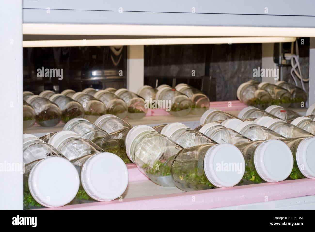 Matraces de laboratorio de propagación de plantas crecen en condiciones estériles aparato científico bajo luces clonación clones mericlone tubo de ensayo Foto de stock