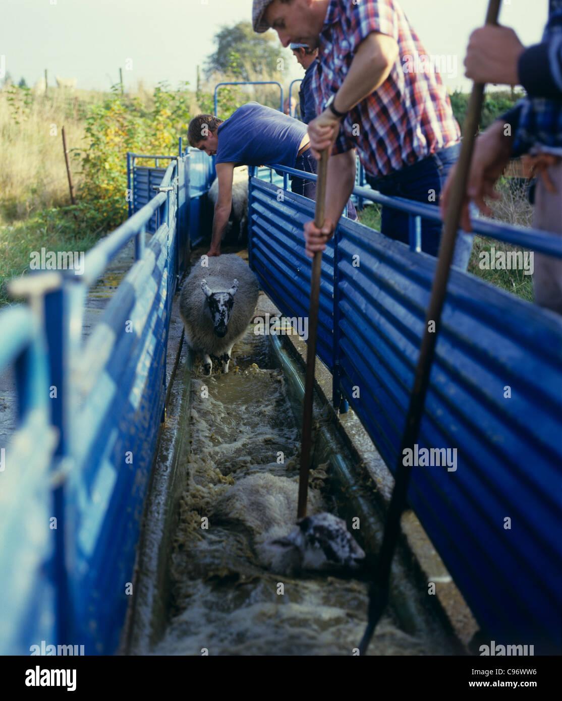 Al norte de Inglaterra mula ovejas Ovejas introduciendo un chapuzón, Berkshire. Imagen De Stock