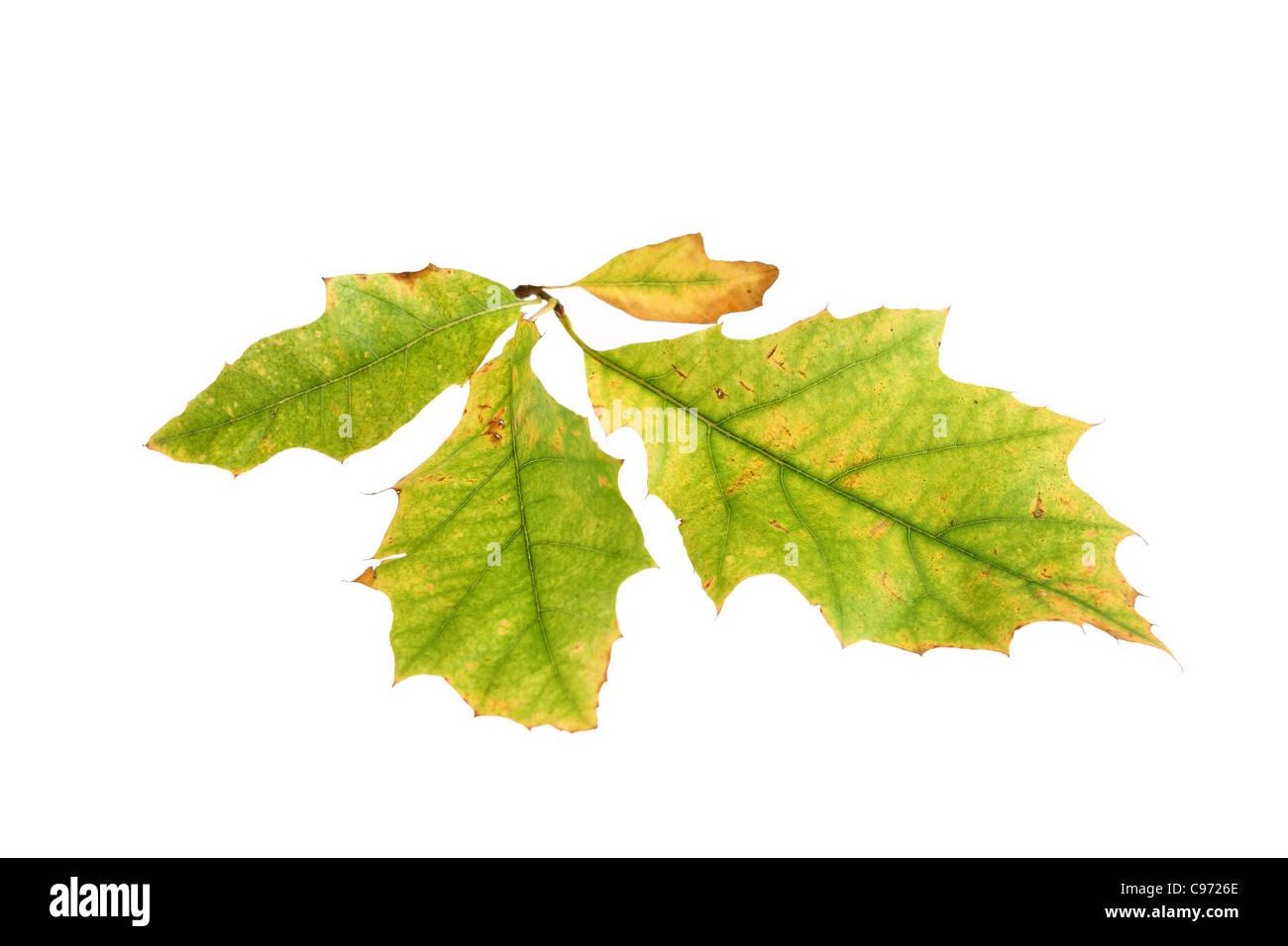 Hoja de Otoño retroiluminado (roble de Turquía) mostrando el cambio de color en el color verde de la clorofila, el pigmento amarillo Foto de stock