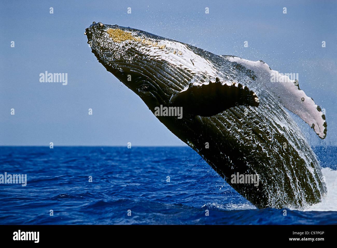 Ballena humpback, Hawai'ballena jorobada', lunging, violar, ballena Foto de stock