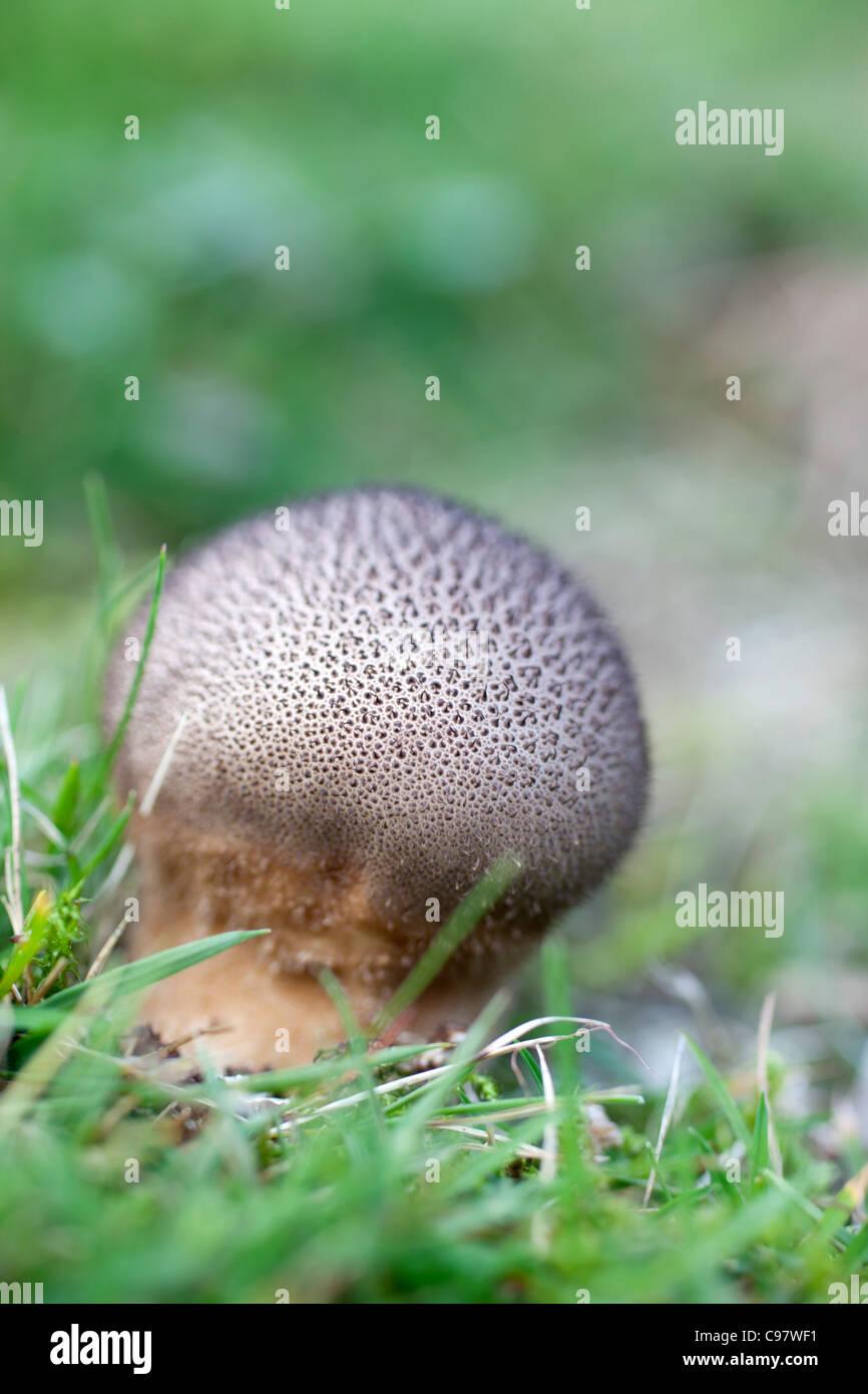 Meadow escamosa; Hankea Puffball utriformis; hongos; Cornwall; UK Imagen De Stock