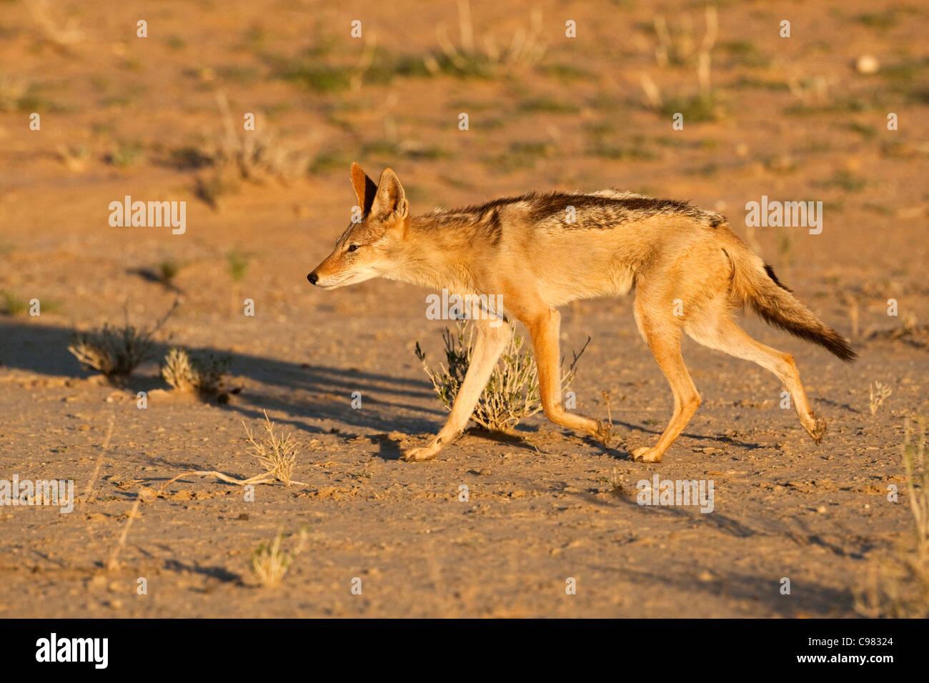 Negro-respaldado chacal trotting (Canis mesomelas) Imagen De Stock