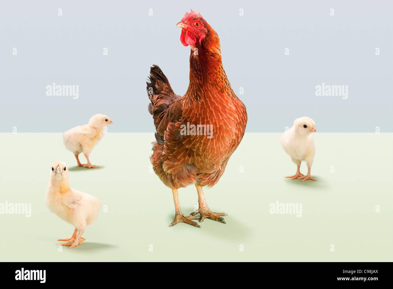 Pie de gallina con pollitos studio Foto de stock