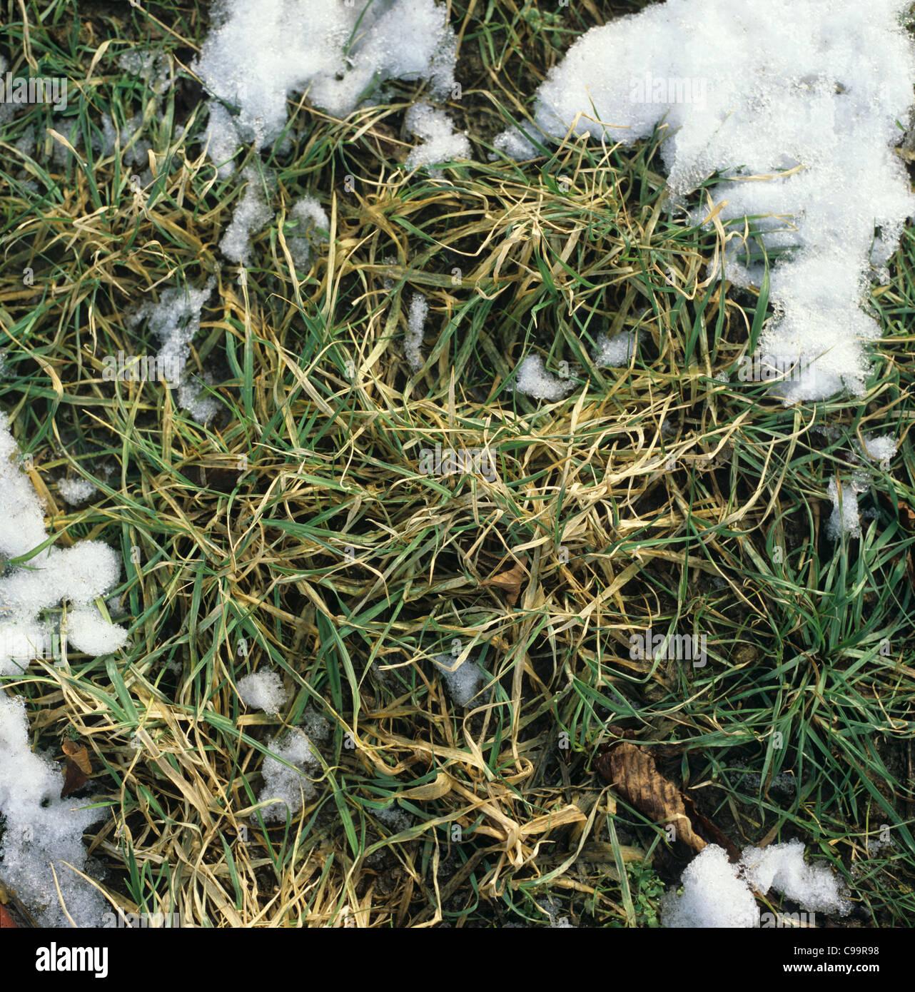 La cubierta de nieve se aleja dejando muertos y moribundos cosecha de cebada de invierno: el invierno matar Foto de stock
