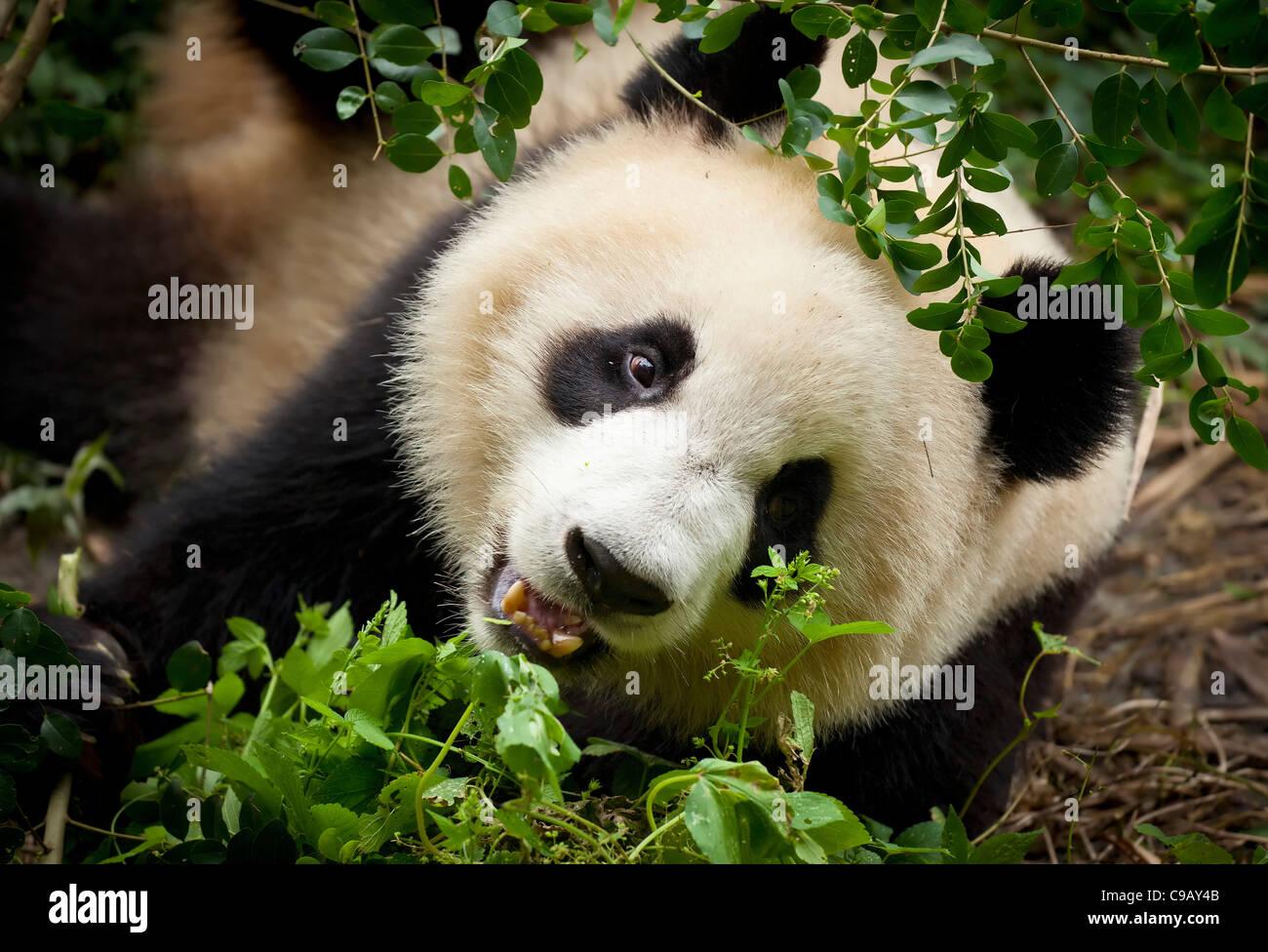 El panda gigante Ailuropoda melanoleuca, centro de investigación y crianza de Panda Chengdu, China, República Imagen De Stock