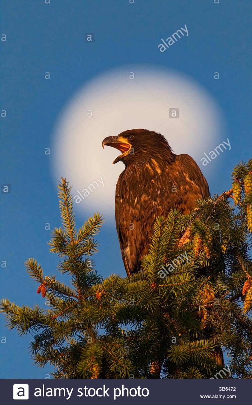 Con tres cuartos de luna como telón de fondo, un águila calva incipiente (Haliaeetus leucocephalus) llamadas Imagen De Stock