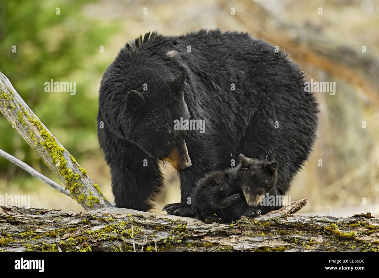 Madre protectora Bear manteniendo un ojo en Cub Imagen De Stock