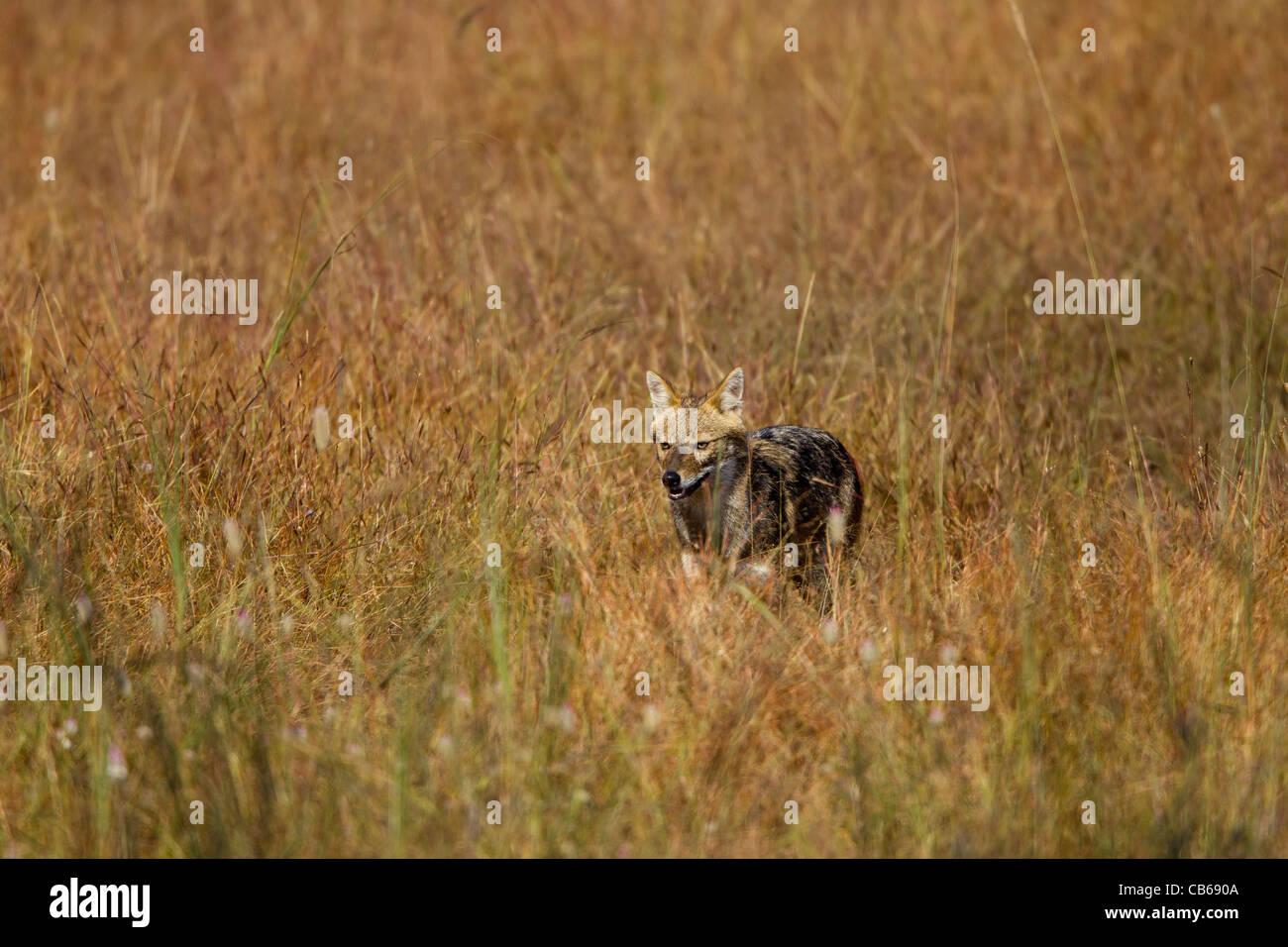Indian Chacal (Canis aureus indicus), también conocido como El Chacal del Himalaya es una subespecie de golden jackal nativo de India, Bhuta Foto de stock