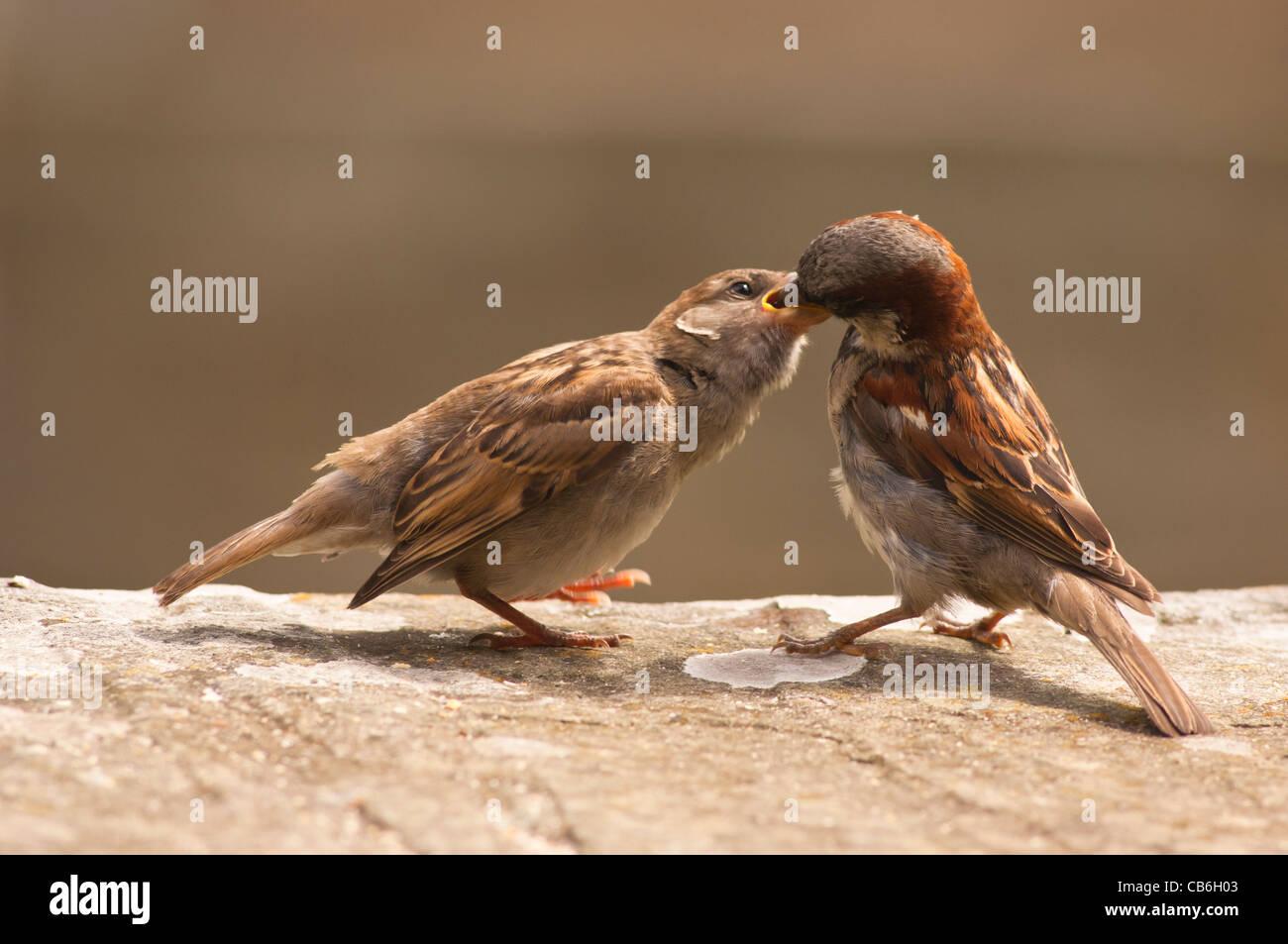 Un primer plano retrato de un macho de gorrión (Passer domesticus ) alimentando un joven fledgeling chick en el Reino Unido Foto de stock