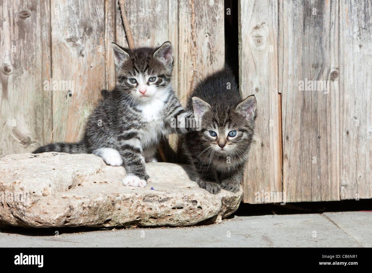 Los gatitos, dos alerta sentado delante del cobertizo de jardín, Baja Sajonia, Alemania Imagen De Stock