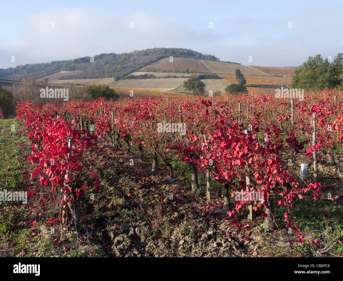 Hojas de vid se tornan rojas en el otoño de LTE en un viñedo en el Aude, Languedoc, Francia Imagen De Stock