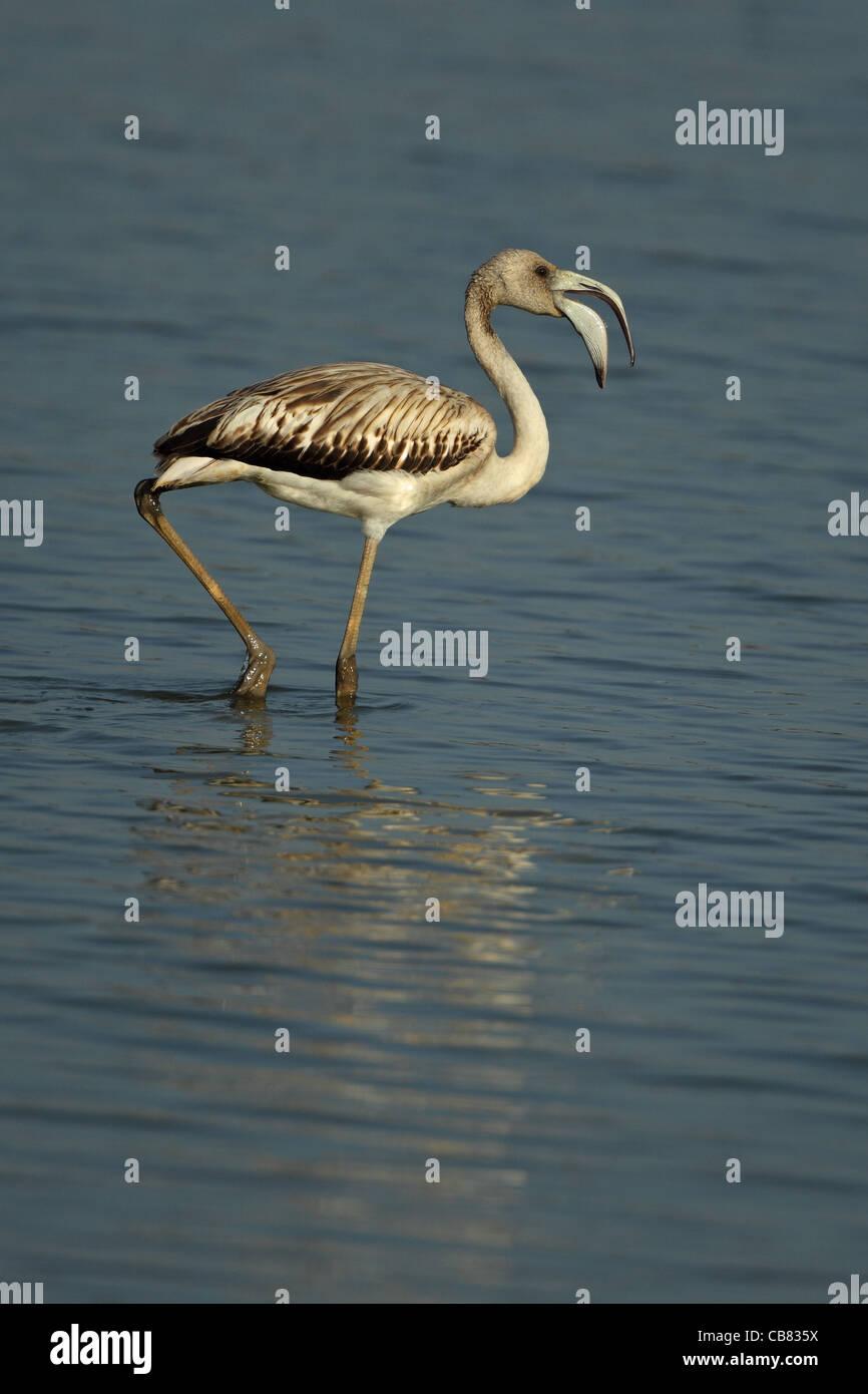 Mayor Flamingo (Phoenicopteriformes ruber) Foto de stock