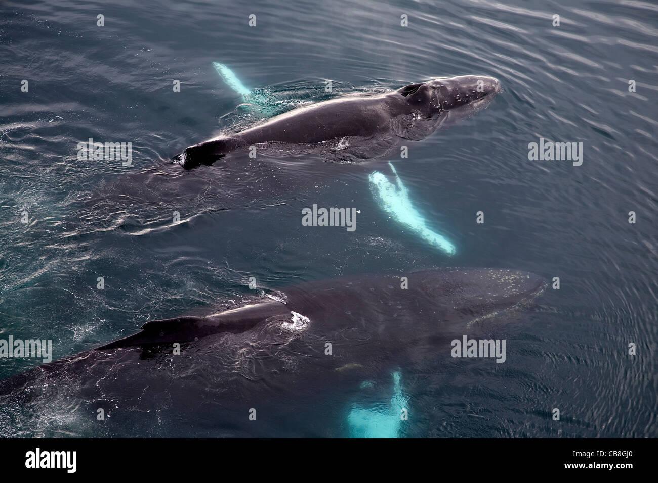 Dos ballenas jorobadas (Megaptera novaeangliae) surgen en el Mar Antártico en Wilhelmina Bay, en la Antártida Foto de stock