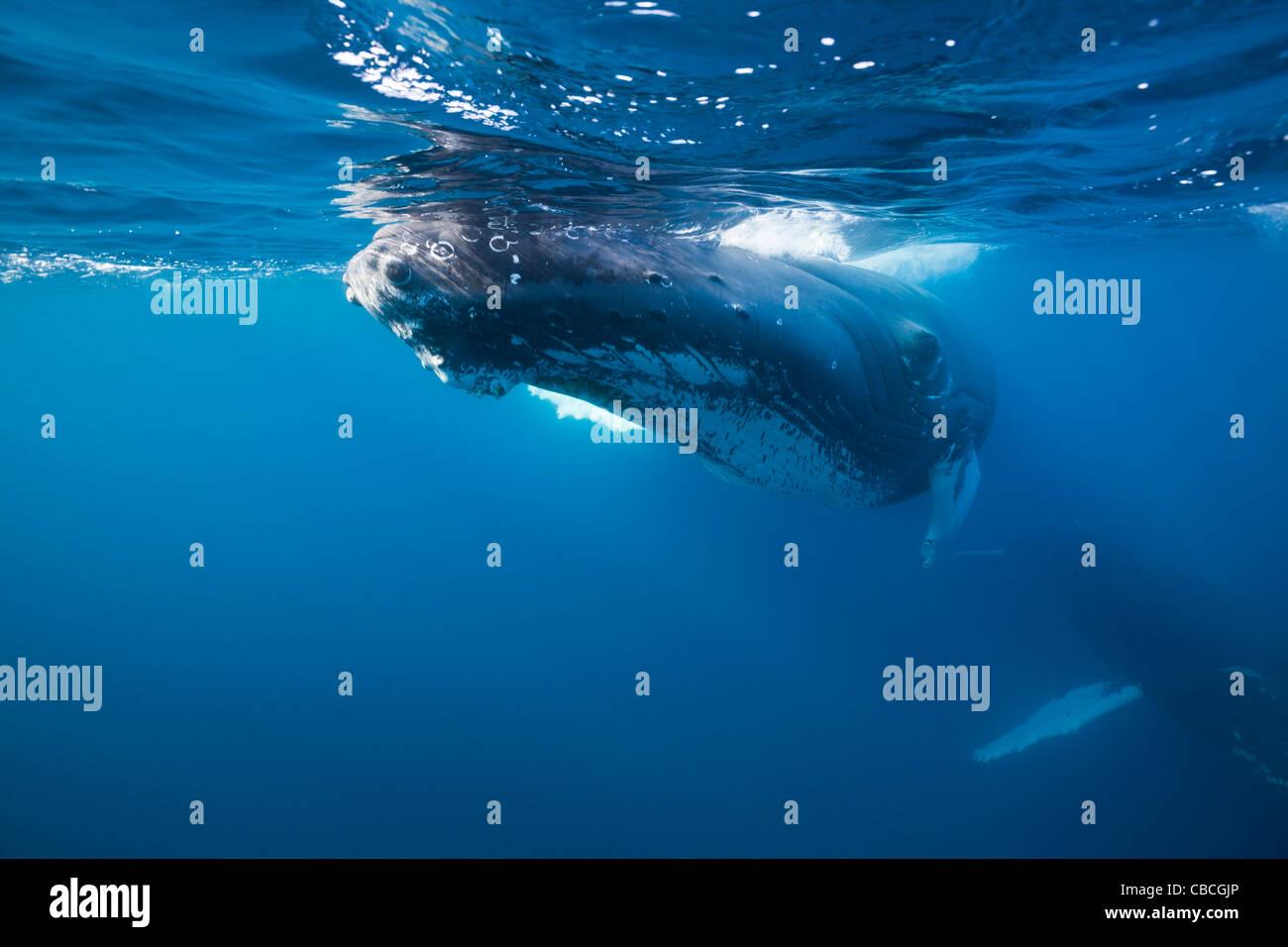 La ballena jorobada, Megaptera novaeangliae, Mar Caribe Dominica Foto de stock