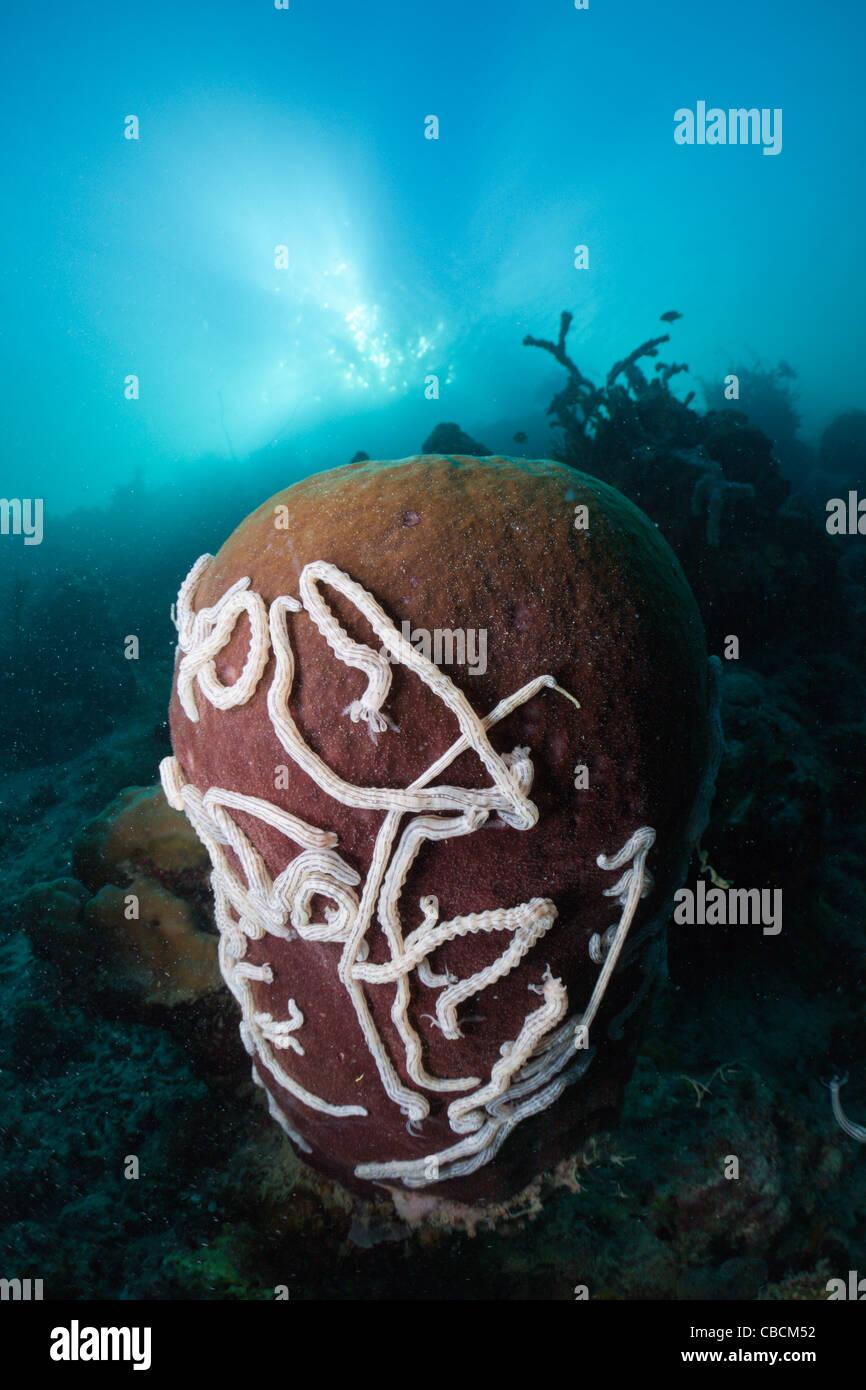 Los cohombros de mar blanco sobre la esponja Barril Synaptula sp., Xestopongia testudinaria, la bahía de Cenderawasih, Imagen De Stock