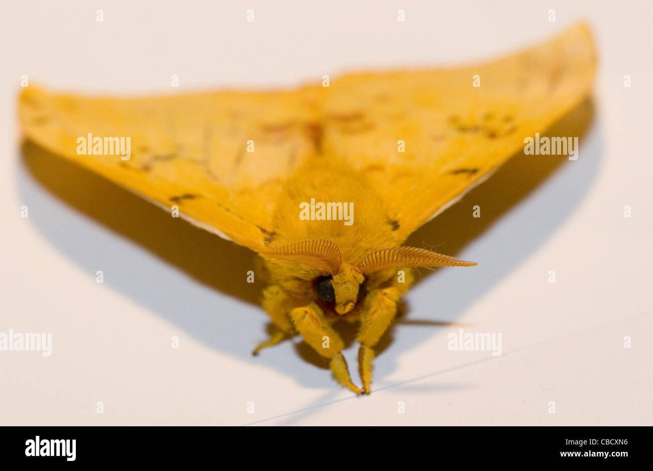 Io Automeris - Macho polilla Io -- Polilla difusa amarillo sobre fondo blanco. Las marcas rojas con manchas ocelares Imagen De Stock